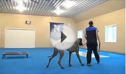 Wellington (Great Dane) Boot Camp Dog Training Video